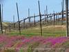 Vineyard near Pinnacles NM CA (1)
