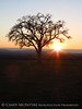 Oak tree at sunset, Paso Robles, CA (2)