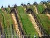 Vineyard near Pinnacles NM CA (2)