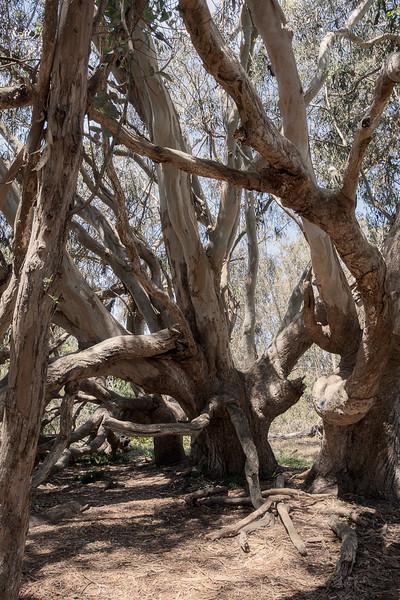 Knurly Tree