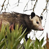 Opossum on fence, Paso Robles CA