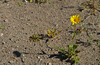 A lone Desert Gold wildflower in the sand on a hillside in Death Valley, California, USA.