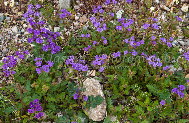 The purple wildflower, notch-leafed Phacelia in Death Valley National Park, California, USA.