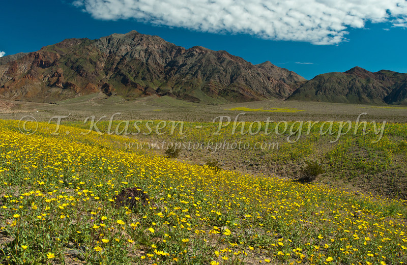 Desert Gold wildflowers on the hillsides in the southern part of Death Valley, California, USA.
