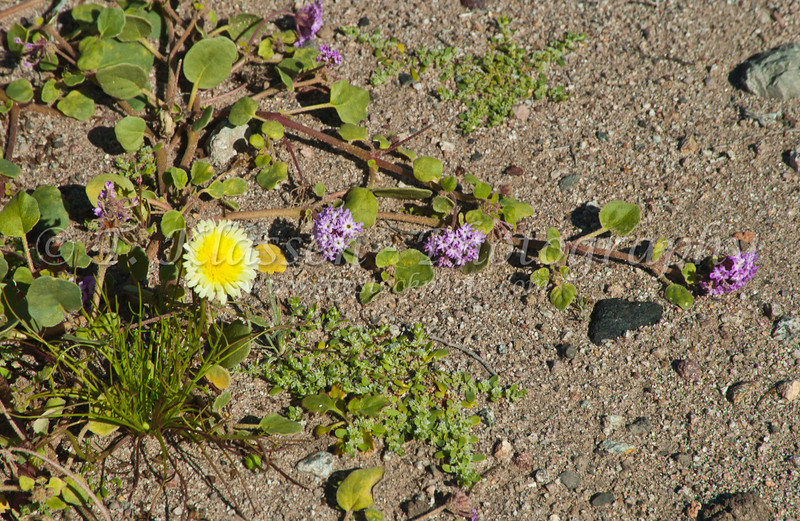 Desert wildflowers in the sand in the southern part of Death Valley, California, USA.