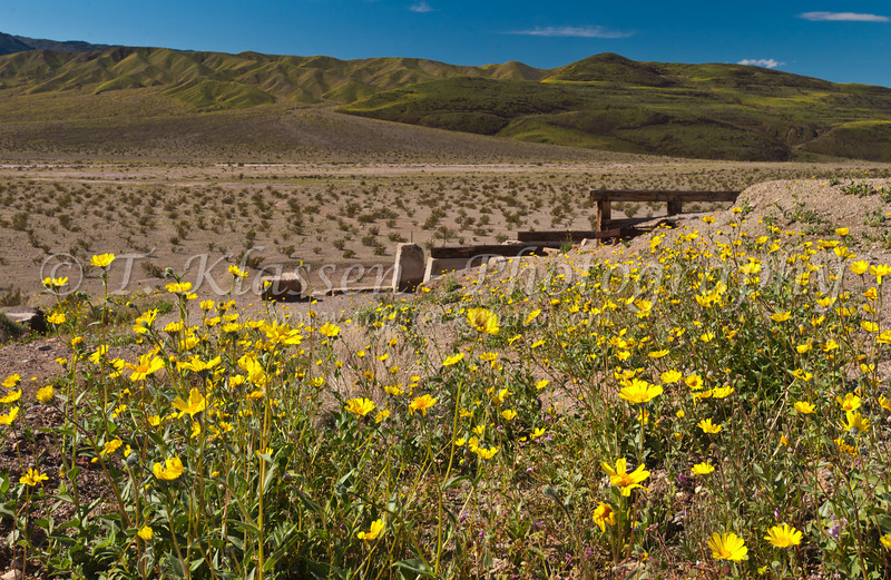 Ruins of the Ashford MIne and Desert Gold wildflowers on the hillsides in the southern part of Death Valley, California, USA.