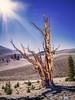 Harsh Bristlecone Climate
