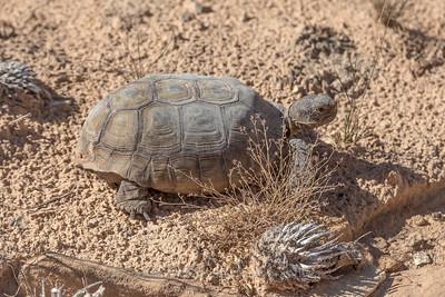 Rare Desert Tortoise