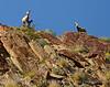 Desert bighorn ewes and lambs, Anza Borrego CA (2)