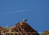 Desert bighorn ewes and lambs, Anza Borrego CA (5)