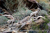 Desert bighorn ewes and lambs, Anza Borrego CA (19)
