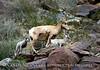 Desert bighorn ewe and lambs, Anza Borrego CA (1)