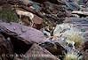 Desert bighorn ewes and lambs, Anza Borrego CA (24)