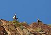 Desert bighorn ewes and lambs, Anza Borrego CA (4)