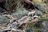 Desert bighorn ewes and lambs, Anza Borrego CA (20)