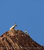 Desert bighorn ewes and lambs, Anza Borrego CA (6)