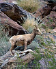 Desert bighorn ewes and lambs, Anza Borrego CA (16)