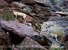 Desert bighorn ewes and lambs, Anza Borrego CA (28)