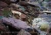 Desert bighorn ewes and lambs, Anza Borrego CA (29)