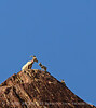 Desert bighorn ewes and lambs, Anza Borrego CA (8)