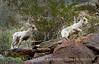 Desert bighorn ewe and lambs, Anza Borrego CA (2)