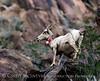 Desert bighorn ewes and lambs, Anza Borrego CA (14)