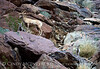 Desert bighorn ewes and lambs, Anza Borrego CA (31)