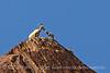 Desert bighorn ewes and lambs, Anza Borrego CA (9)