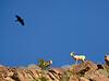 Desert bighorn ewes and lambs, Anza Borrego CA (12)