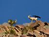 Desert bighorn ewes and lambs, Anza Borrego CA (11)