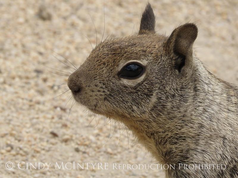 Rock squirrell, Joshua Tree NP Ca (2)