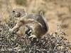 Antelope Ground Squirrel, Joshua Tree NP CA (6)