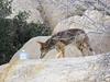 Coyote in camp, Joshua Tree NP CA (2)