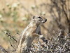 Antelope Ground Squirrel, Joshua Tree NP CA (4)