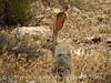 Black-tailed jackrabbit, Red Rock Canyon NV