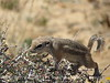 Antelope Ground Squirrel, Joshua Tree NP CA (5)
