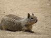 Rock squirrell, Joshua Tree NP Ca (1)