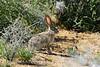 Black-tailed jackrabbit, Mojave Natl preserve CA (3)