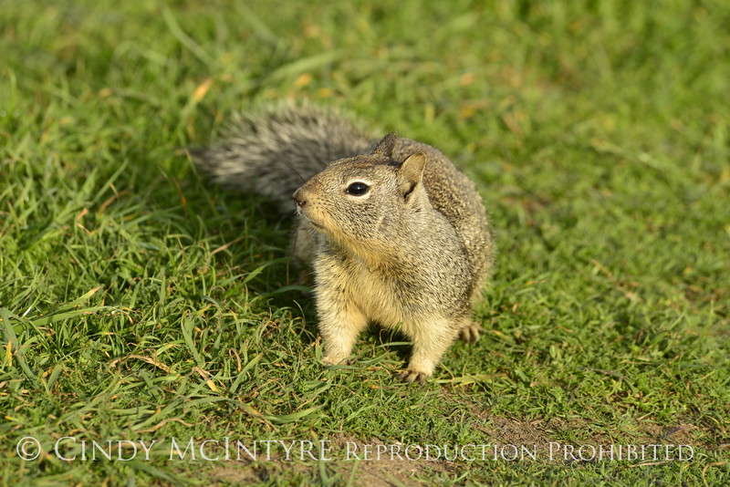 California ground squirrel, San Simeon CA (12)