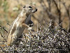 Antelope Ground Squirrel, Joshua Tree NP CA (3)