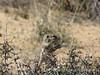 Antelope Ground Squirrel, Joshua Tree NP CA (1)