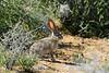 Black-tailed jackrabbit, Mojave Natl preserve CA (4)