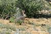 Black-tailed jackrabbit, Mojave Natl preserve CA (1)
