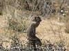 Antelope ground squirrel, Joshua Tree NP CA (7)