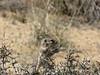 Antelope Ground Squirrel, Joshua Tree NP CA (2)