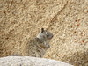 Rock squirrel female, Joshua Tree NP CA (2)