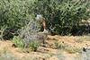 Black-tailed jackrabbit, Mojave Natl preserve CA (2)