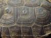 Desert Tortoise, Gopherus agassazii, Barstow CA (4)