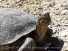 Desert Tortoise, Gopherus agasazii, Barstow CA (1)