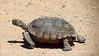 Desert Tortoise, Gopherus agasazii, CA (2)